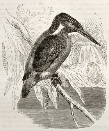common kingfisher: Common Kingfisher old illustration (Alcedo atthis). Created by Kretschmer, published on Merveilles de la Nature, Bailliere et fils, Paris, ca. 1878