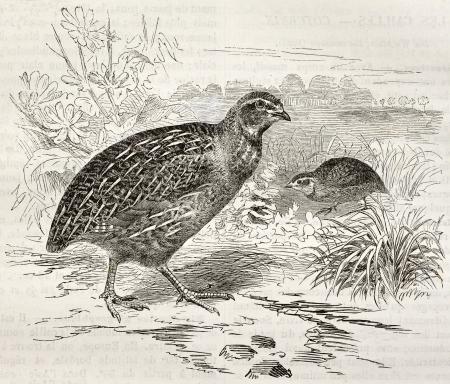 quail: Common Quail old illustration (Coturnix coturnix). Created by Kretschmer and Schmid, published on Merveilles de la Nature, Bailliere et fils, Paris, ca. 1878 Editorial
