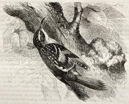 familiaris: Common Treecreeper old illustration (Certhia familiaris). Created by Kretschmer, published on Merveilles de la Nature, Bailliere et fils, Paris, ca. 1878