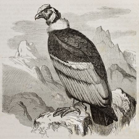 andean: Old illustration of Andean Condor (Vultur gryphus). Created by Kretschmer and Jahrmargt, published on Merveilles de la Nature, Bailliere et fils, Paris, 1878 Editorial