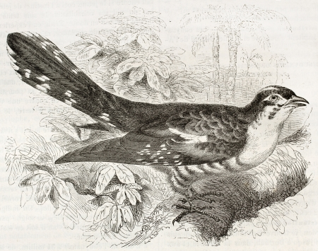 cuckoo: Dideric Cuckoo old illustration (Chrysococcyx caprius). Created by Kretschmer, published on Merveilles de la Nature, Bailliere et fils, Paris, ca. 1878