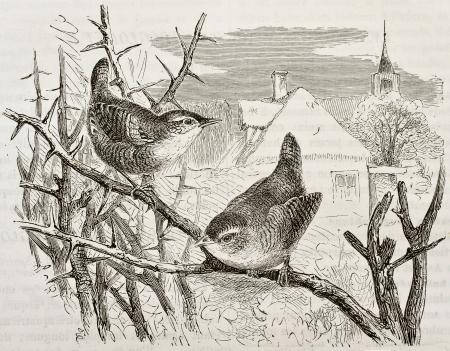 oiseau dessin: Accenteur mouchet vieille illustration (Prunella modularis). Créé par Kretschmer, publié sur la nature Merveilles de la, Baillière et fils, Paris, 1878