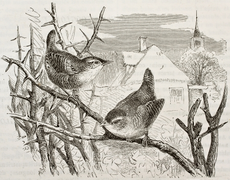 ancient bird: Dunnock old illustration (Prunella modularis). Created by Kretschmer, published on Merveilles de la Nature, Bailliere et fils, Paris, 1878