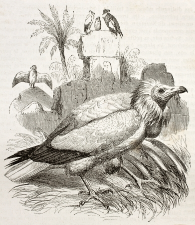 beak vulture: Old illustration of Egyptian Vulture (Neophron percnopterus). Created by Kretschmer and Jahrmargt, published on Merveilles de la Nature, Bailliere et fils, Paris, 1878 Editorial