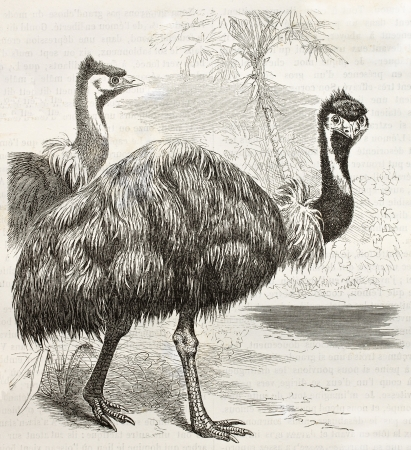 emu bird: Emu old illustration (Dromaius novaehollandiae). Created by Kretschmer and Jahrmargt, published on Merveilles de la Nature, Bailliere et fils, Paris, ca. 1878