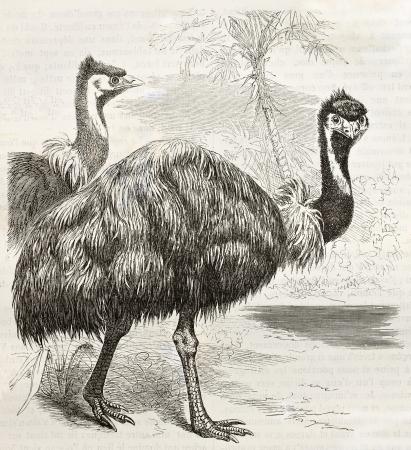 emu: Emu viejo ilustración (Dromaius novaehollandiae). Creado por Kretschmer y Jahrmargt, publicado en Nature Maravillas de la, Bailliere et Fils, París, ca. 1878