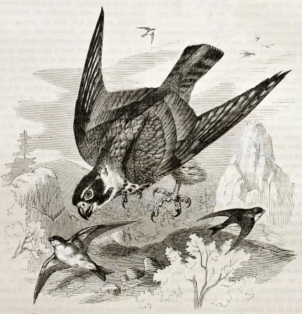 hooked: Old illustration of Eurasian Hobby (Falco subbuteo). Created by Kretschmer, published on Merveilles de la Nature, Bailliere et fils, Paris, 1878 Editorial
