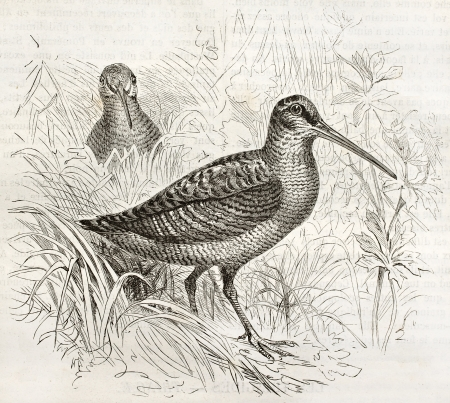 Eurasian Woodcock old illustration (Scolopax rusticola). Created by Kretschmer and Scmhid, published on Merveilles de la Nature, Bailliere et fils, Paris, ca. 1878