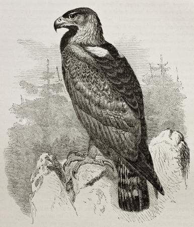 aguila real: Antigua ilustración de Golden Eagle (Aquila chrysaetos). Creado por Kretschmer, publicado en Nature Maravillas de la, Bailliere et Fils, París, 1878