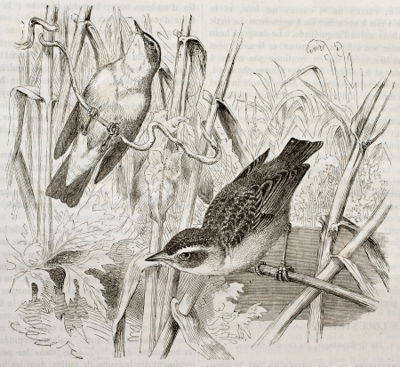 Grasshopper Warbler old illustration (Locustella naevia). Created by Kretschmer, published on Merveilles de la Nature, Bailliere et fils, Paris, 1878