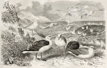 sea gull: Great Black-backed Gull old illustration (Larus marinus). Created by Kretschmer and Illner, published on Merveilles de la Nature, Bailliere et fils, Paris, ca. 1878