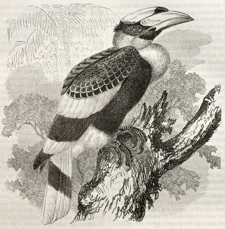 naturalistic: Great Hornbill old illustration (Buceros bicornis). Created by Kretschmer and Illner, published on Merveilles de la Nature, Bailliere et fils, Paris, ca. 1878