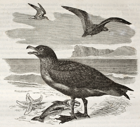 stercorarius: Great Skua old illustration (Stercorarius skua). Created by Kretschmer and Jahrmargt, published on Merveilles de la Nature, Bailliere et fils, Paris, ca. 1878