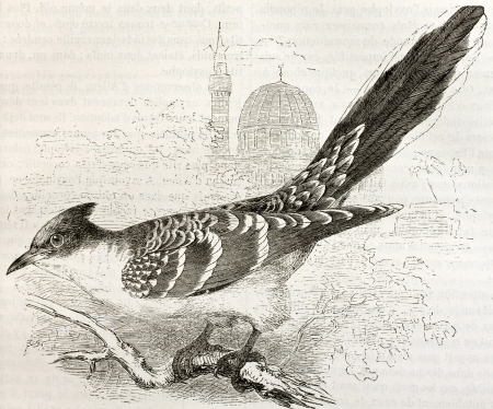 cuckoo: Great Spotted Cuckoo old illustration (Clamator glandarius). Created by Kretschmer and Wendt, published on Merveilles de la Nature, Bailliere et fils, Paris, ca. 1878 Editorial
