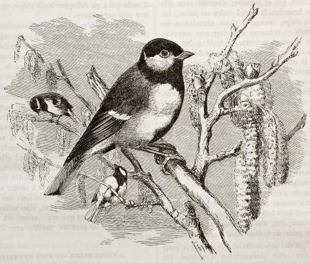 oiseau dessin: Mésange charbonnière vieille illustration (Parus major). Créé par Kretschmer et Wendt, publiée sur la nature Merveilles de la, Baillière et fils, Paris, 1878 Éditoriale