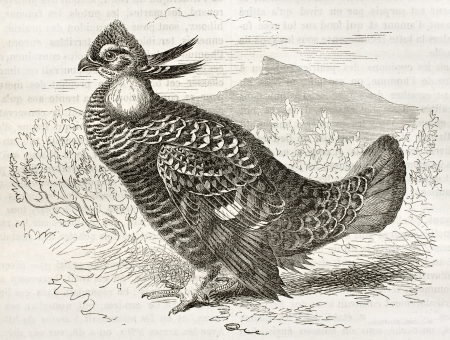 Gretaer Prairie Chicken old illustration (Tympanuchus cupido). Created by Kretschmer and Jahrmargt, published on Merveilles de la Nature, Bailliere et fils, Paris, ca. 1878