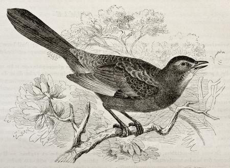 ruiseñor: Catbird gris ilustración edad (carolinensis Dumetella). Creado por Kretschmer y Schmid, publicado en Nature Maravillas de la, Bailliere et Fils, París, 1878 Editorial