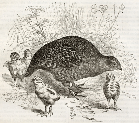 Grey Partridge old illustration (Perdix perdix). Created by Kretschmer and Schmid, published on Merveilles de la Nature, Bailliere et fils, Paris, ca. 1878