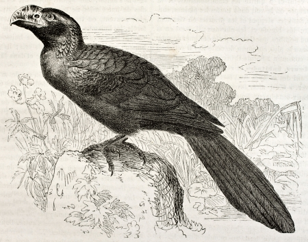 curve claw: Groove-billed Ani old illustration (Crotophaga sulcirostris). Created by Kretschmer and Jahrmargt, published on Merveilles de la Nature, Bailliere et fils, Paris, ca. 1878