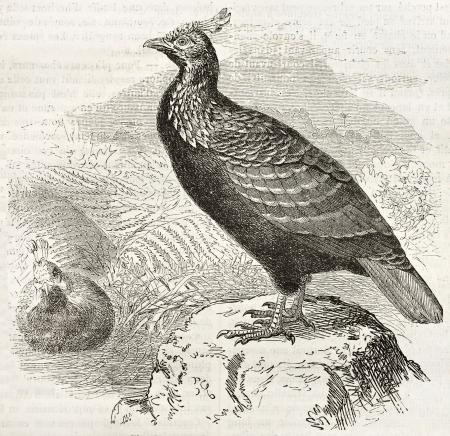 Himalayan Monal old illustration (Lophophorus impejanus). Created by Kretschmer and Illner, published on Merveilles de la Nature, Bailliere et fils, Paris, ca. 1878 Stock Photo - 15005065