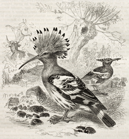 Hoopoe old illustration (Upupa Epops). Created by Kretschmer and Schmid, published on Merveilles de la Nature, Bailliere et fils, Paris, ca. 1878