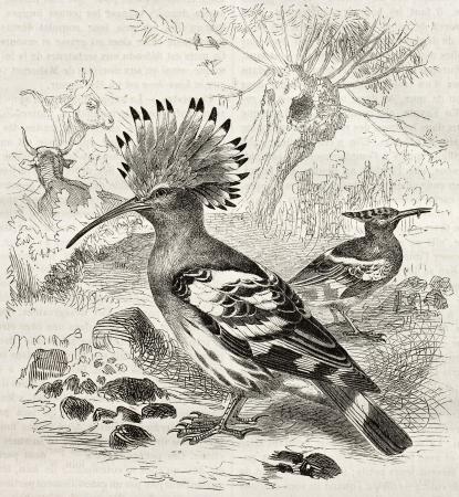 Hoopoe old illustration (Upupa Epops). Created by Kretschmer and Schmid, published on Merveilles de la Nature, Bailliere et fils, Paris, ca. 1878