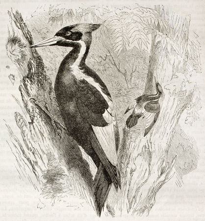 billed: Ivory-billed Woodpecker old illustration (Campephilus principalis). Created by Kretschmer and Schmid, published on Merveilles de la Nature, Bailliere et fils, Paris, ca. 1878