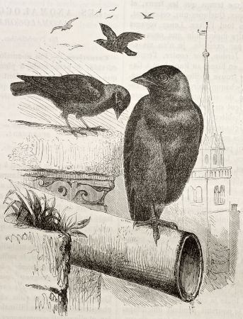 coloeus: Old illustration of a Jackdaw (Coloeus monedula). Created by Kretschmer, published on Merveilles de la Nature, Bailliere et fils, Paris, 1878
