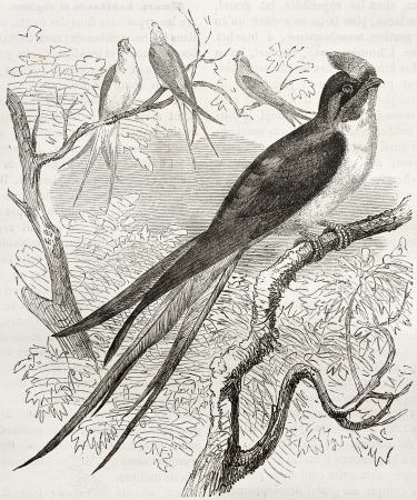 black ancestry: Klecho Swallow old illustration (Dendrochelidon klacho). Created by Kretschmer, published on Merveilles de la Nature, Bailliere et fils, Paris, 1878