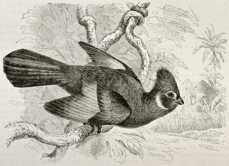 black ancestry: Old illustration of Knysna Touraco (Tauraco corythaix). Created by Kretschmer, published on Merveilles de la Nature, Bailliere et fils, Paris, 1878 Editorial