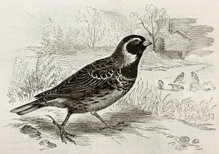 Old illustration of Lapland Longspur (Calcarius lapponicus). Created by Kretschmer and Schmid, published on Merveilles de la Nature, Bailliere et fils, Paris, 1878