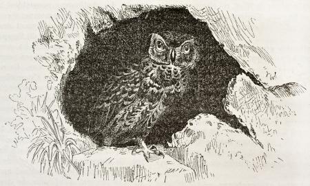 athene: Little Owl old illustration (Athene noctua). Created by Kretschmer and Wendt, published on Merveilles de la Nature, Bailliere et fils, Paris, 1878
