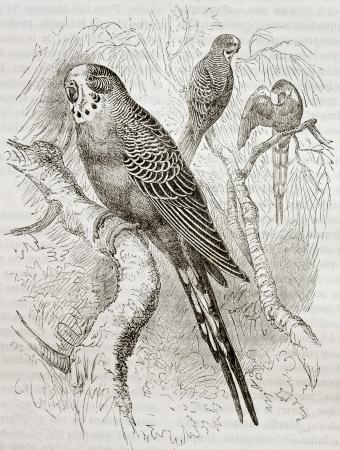 undulatus: Old illustration of Budgerigar (Melopsittacus undulatus). Created by Kretschmer and Jahrmargt, published on Merveilles de la Nature, Bailliere et fils, Paris, 1878 Editorial