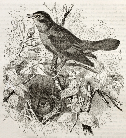 Nightingale old illustration (Luscinia megarhynchos). Created by Kretschmer and Illner, published on Merveilles de la Nature, Bailliere et fils, Paris, 1878 Editorial
