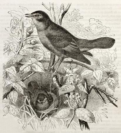 Nightingale old illustration (Luscinia megarhynchos). Created by Kretschmer and Illner, published on Merveilles de la Nature, Bailliere et fils, Paris, 1878 Editorial