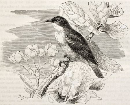 Nile Valley sunbird old illustration (Anthreptes metallicus). Created by Kretschmer, published on Merveilles de la Nature, Bailliere et fils, Paris, ca. 1878