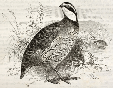 quail: Northern Bobwhite old illustration (Colinus virginianus). Created by Kretschmer and Jahrmargt, published on Merveilles de la Nature, Bailliere et fils, Paris, ca. 1878 Editorial