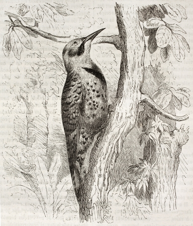 old fashioned sepia: Northern Flicker old illustration (Colaptes auratus). Created by Kretschmer and Jahrmargt, published on Merveilles de la Nature, Bailliere et fils, Paris, ca. 1878