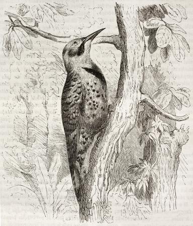 flicker: Northern Flicker old illustration (Colaptes auratus). Created by Kretschmer and Jahrmargt, published on Merveilles de la Nature, Bailliere et fils, Paris, ca. 1878