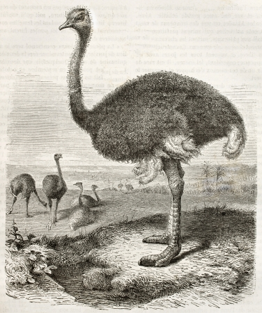 Ostrich old illustration (Struthio camelus). Created by Beckmann, published on Merveilles de la Nature, Bailliere et fils, Paris, ca. 1878 Editorial
