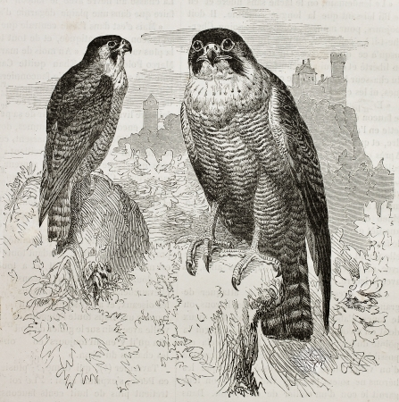 falco peregrinus: Old illustration of Peregrine Falcon (Falco peregrinus). Created by Kretschmer, published on Merveilles de la Nature, Bailliere et fils, Paris, 1878