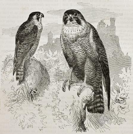 Oude illustratie van Slechtvalk (Falco peregrinus). Gemaakt door Kretschmer, gepubliceerd op Merveilles de la Nature, Bailliere et fils, Parijs, 1878