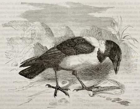 black ancestry: Old illustration of Pied Crow (Corvus albus). Created by Kretschmer, published on Merveilles de la Nature, Bailliere et fils, Paris, 1878 Editorial