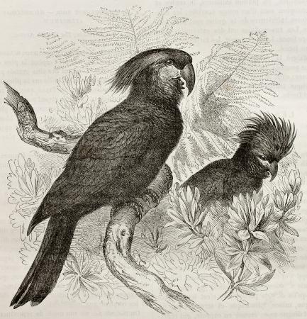 black ancestry: Old illustration of Palm Cockatoo (Probosciger aterrimus). Created by Kretschmer and Jahrmargt, published on Merveilles de la Nature, Bailliere et fils, Paris, 1878 Editorial