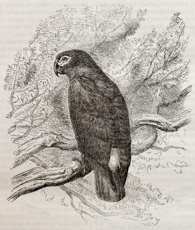 african grey parrot: Old illustration of a Grey parrot (Psittacus erithacus). Created by Kretschmer, published on Merveilles de la Nature, Bailliere et fils, Paris, 1878