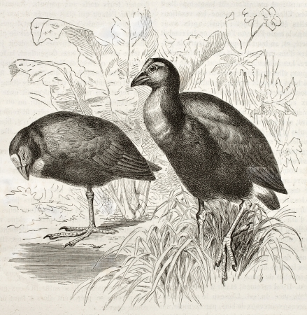 purple swamphen: Purple Swamphen old illustration (Porphyrio porphyrio). Created by Kretschmer, published on Merveilles de la Nature, Bailliere et fils, Paris, ca. 1878