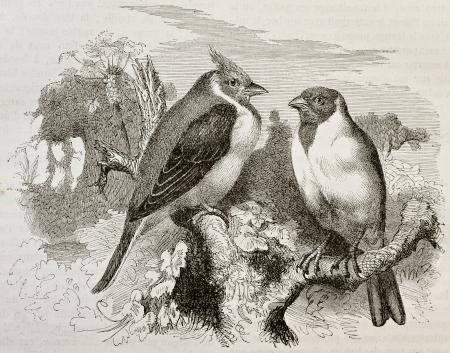 oiseau dessin: Vieille illustration de Red-encapuchonné Cardianal (Paroaria dominicana). Créé par Kretschmer et Schmid, publié sur la nature Merveilles de la, Baillière et fils, Paris, 1878 Éditoriale