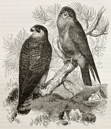 falco: Old illustration of Red-footed Falcon (Falco vespertinus). Created by Kretschmer and Jahrmargt, published on Merveilles de la Nature, Bailliere et fils, Paris, 1878