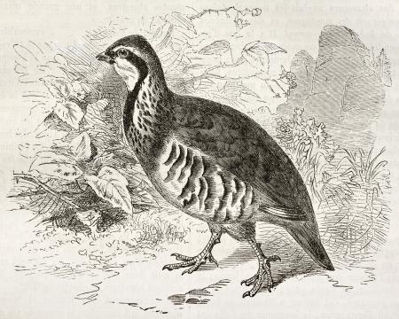 kuropatwa: Czerwony nogami Partridge stary ilustracji (Alectoris rufa). Stworzony przez Kretschmer i Wendt, opublikowana na Merveilles de la Nature, Bailliere et Fils, Paryż, ok.. 1878