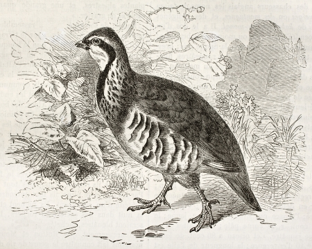 Red-legged Partridge old illustration (Alectoris rufa). Created by Kretschmer and Wendt, published on Merveilles de la Nature, Bailliere et fils, Paris, ca. 1878